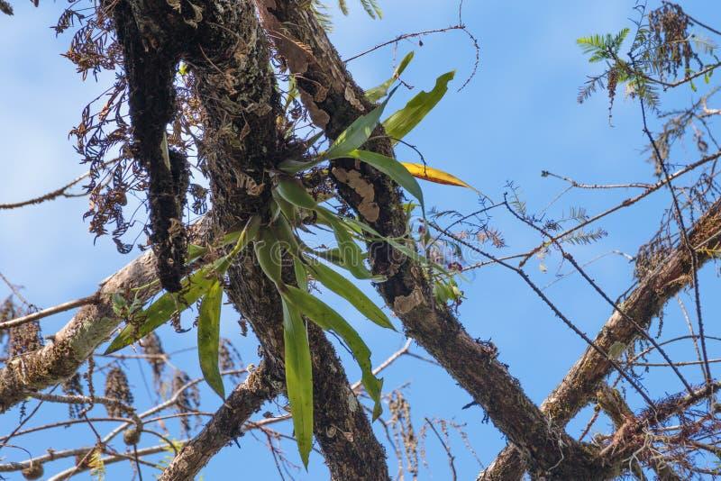 Άγρια Clamshell ορχιδέα της Φλώριδας στοκ εικόνες