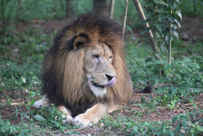 Άγρια eagers λιονταριών για να δοκιμάσει τη σάρκα στοκ φωτογραφία με δικαίωμα ελεύθερης χρήσης