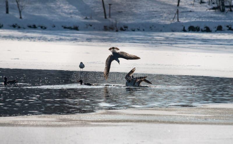 Άγρια seagulls πάλη για τη χειμερινή μύγα τροφίμων στοκ εικόνες