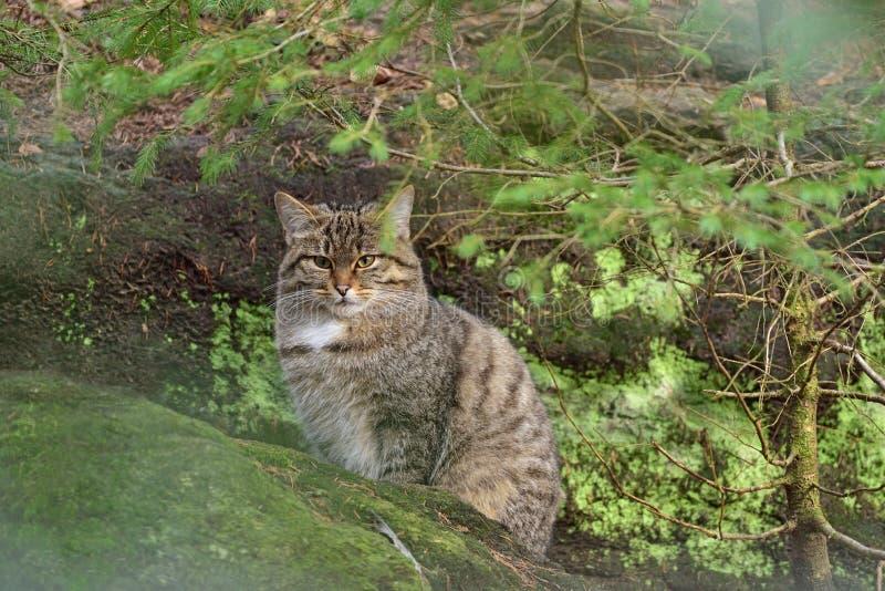 Άγρια silvestris Felis γατών που κάθονται στο βράχο στοκ εικόνα