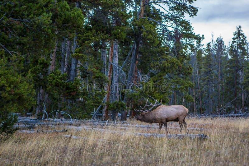 Άγριες άλκες ταύρων στο εθνικό πάρκο Yellowstone στοκ φωτογραφίες