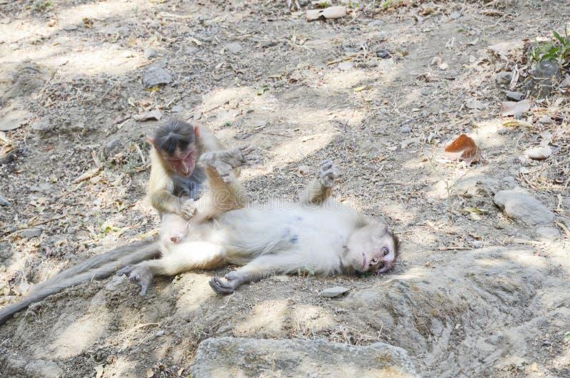 Άγριοι πίθηκοι στη φύση που φροντίζει η μια την άλλη στοκ εικόνα με δικαίωμα ελεύθερης χρήσης