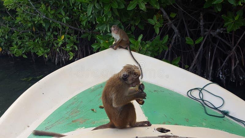 Άγριοι πίθηκοι στοκ φωτογραφία