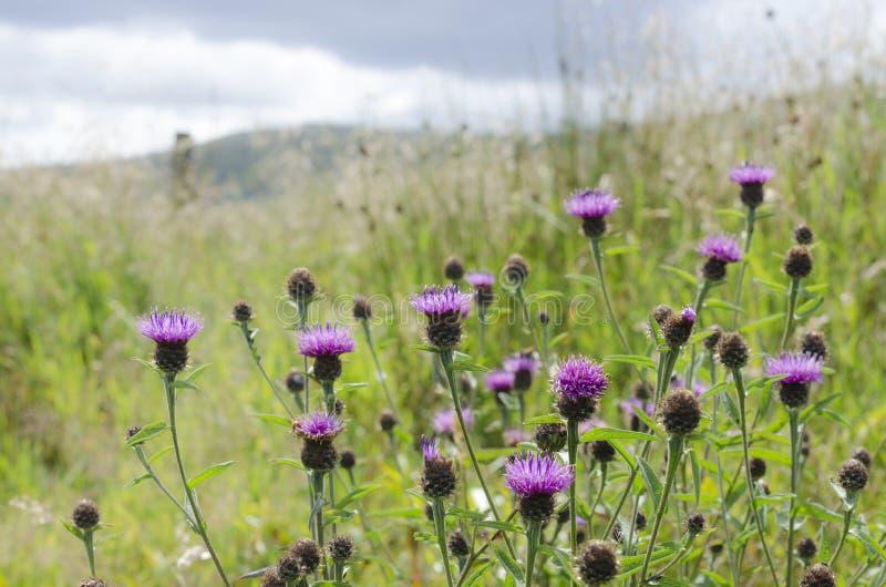 Άγριοι πορφυροί σκωτσέζικοι κάρδοι ενάντια στη μακριά πράσινη χλόη στοκ εικόνα με δικαίωμα ελεύθερης χρήσης