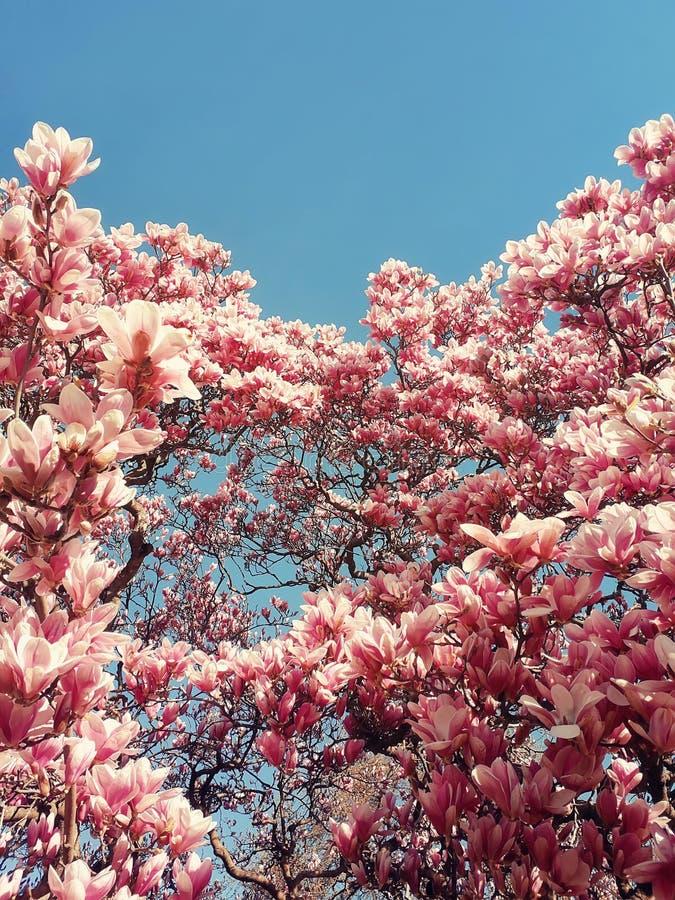 Άγριοι ρόδινοι οφθαλμοί δέντρων magnolia που ανθίζουν, floral σχέδιο πέρα από τον ηλιόλουστο μπλε ουρανό Άνθη συστάδων λουλουδιών στοκ εικόνα