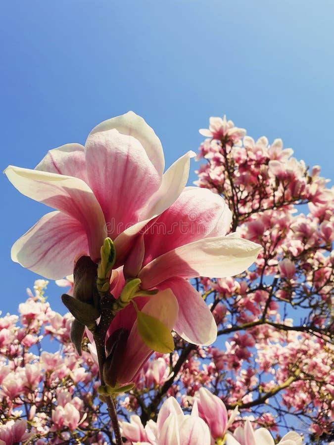 Άγριοι ρόδινοι οφθαλμοί δέντρων magnolia που ανθίζουν, floral σχέδιο πέρα από το μπλε ουρανό Η συστάδα λουλουδιών άνοιξη ανθίζει  στοκ εικόνα με δικαίωμα ελεύθερης χρήσης