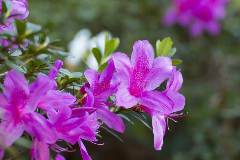 Άγριος αυξήθηκε ανθίζοντας Rhododendron κήπων στο arboreum στοκ εικόνες
