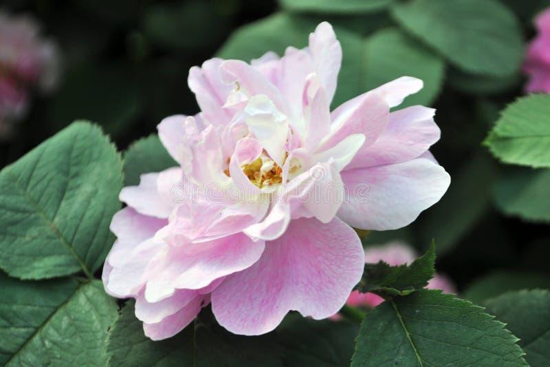 Άγριος αυξήθηκε λουλούδι κατά τη διάρκεια της θερινής άνθισης στοκ φωτογραφία