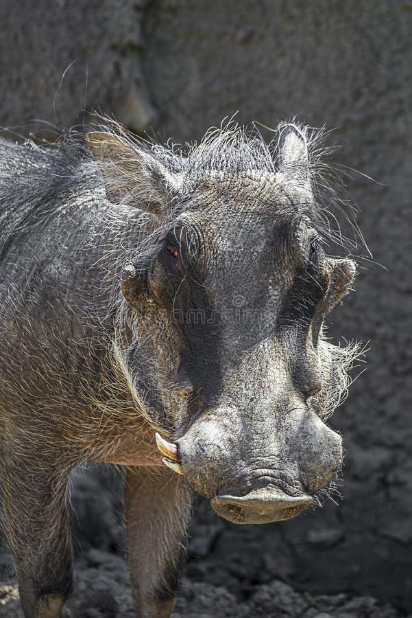 Άγριος αφρικανικός κάπρος, γουρούνι στοκ φωτογραφίες με δικαίωμα ελεύθερης χρήσης