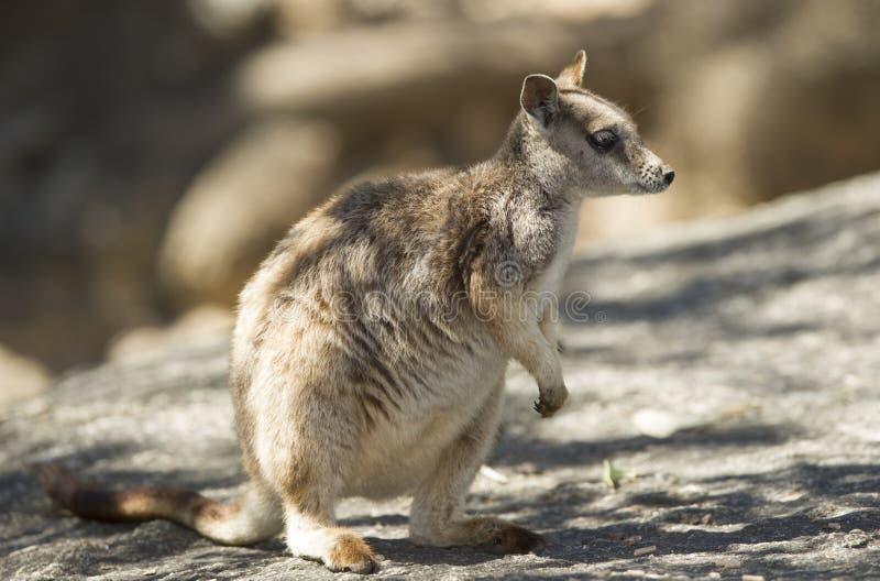 Άγριος βράχος mareeba wallaby, mitchell ποταμός, τύμβοι, Queensland στοκ εικόνα με δικαίωμα ελεύθερης χρήσης