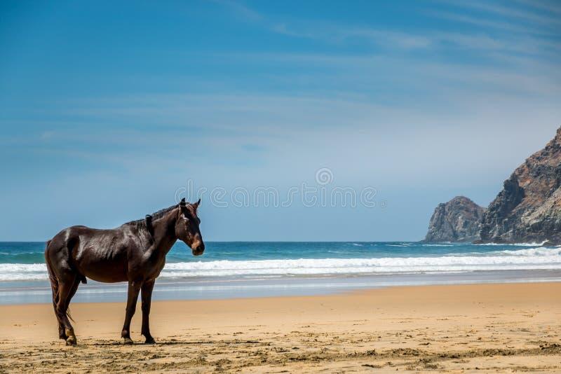Άγριος επιβήτορας στην παραλία στοκ εικόνα