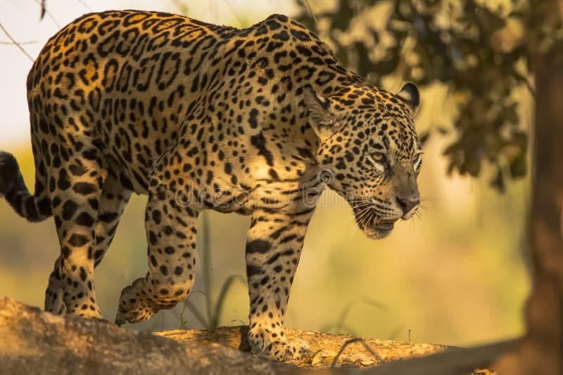 Άγριος θηλυκός ιαγουάρος που περπατά στις σκιές στοκ εικόνα