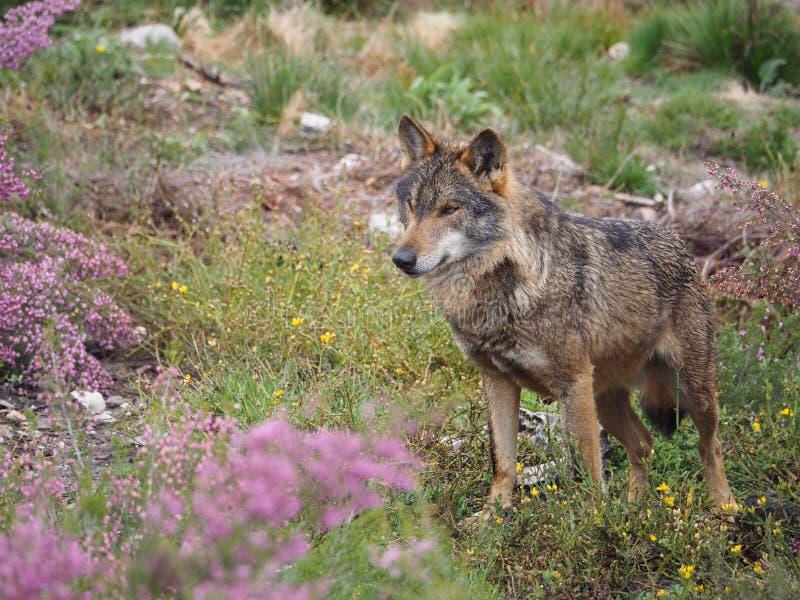 Άγριος λύκος με τα ρόδινα λουλούδια στοκ φωτογραφίες με δικαίωμα ελεύθερης χρήσης