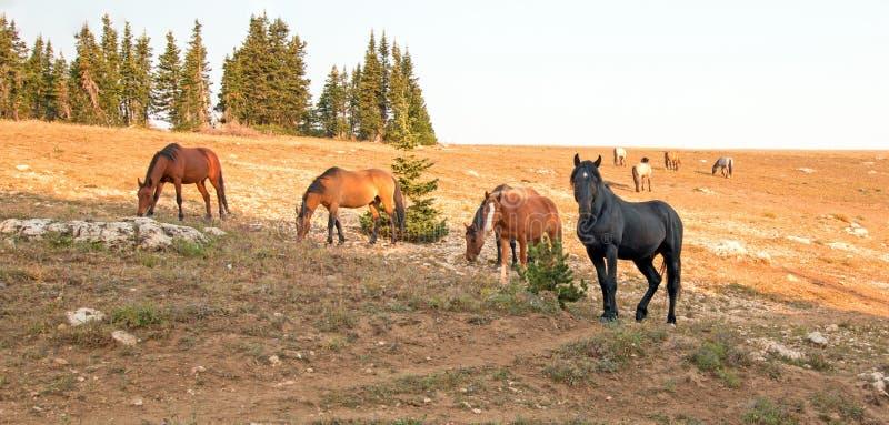 Άγριος μαύρος επιβήτορας αλόγων με το μικρό κοπάδι του στην άγρια σειρά αλόγων βουνών Pryor στη Μοντάνα ΗΠΑ στοκ φωτογραφία