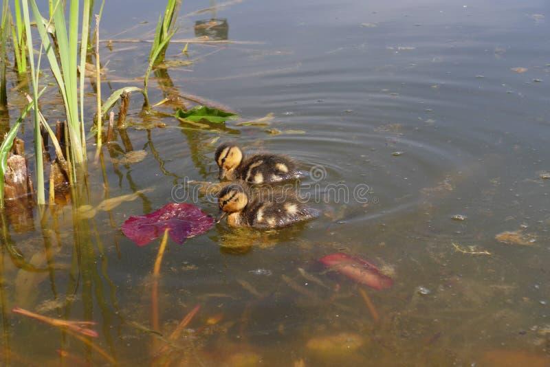 Άγριος μικρός νεοσσός στοκ φωτογραφίες με δικαίωμα ελεύθερης χρήσης