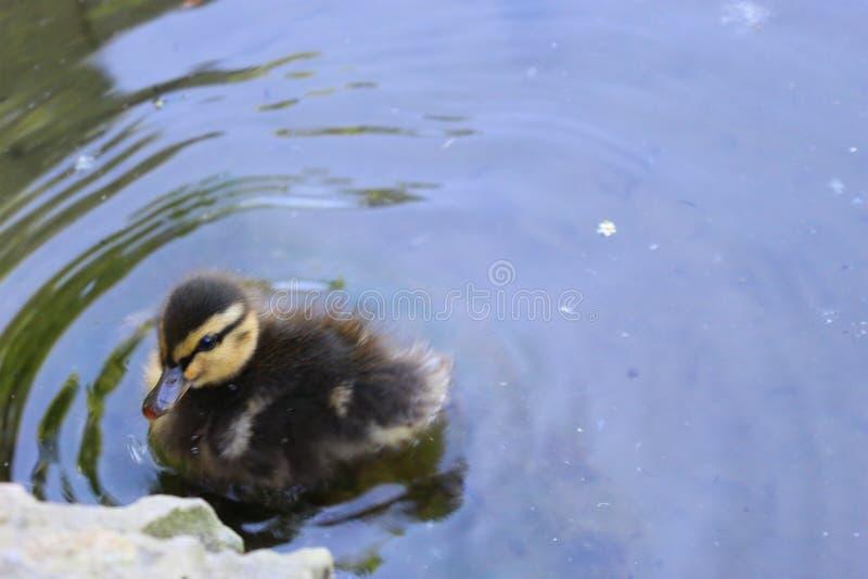 Άγριος νεοσσός στο νερό στοκ εικόνες