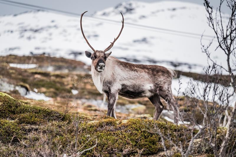 Άγριος τάρανδος στο βουνό χιονιού σε Tromso, Νορβηγία στοκ φωτογραφία