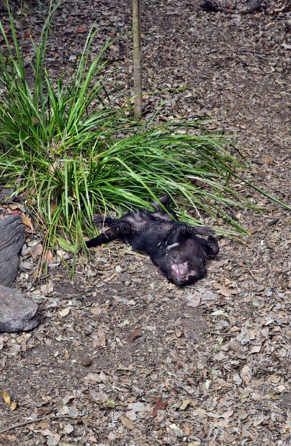 Άγριος τασμανικός διάβολος που διακυβεύεται με εξάλειψη στοκ φωτογραφία με δικαίωμα ελεύθερης χρήσης