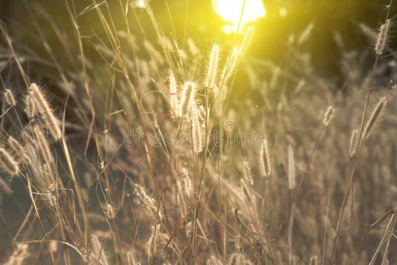 Άγριος τομέας της χλόης στο ηλιοβασίλεμα, μαλακές ακτίνες ήλιων, θερμός τονισμός, φακός στοκ εικόνες