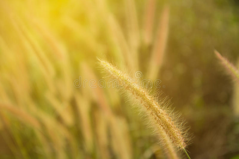 Άγριος τομέας της χλόης στο ηλιοβασίλεμα, μαλακές ακτίνες ήλιων, θερμός τονισμός, φακός στοκ φωτογραφία με δικαίωμα ελεύθερης χρήσης