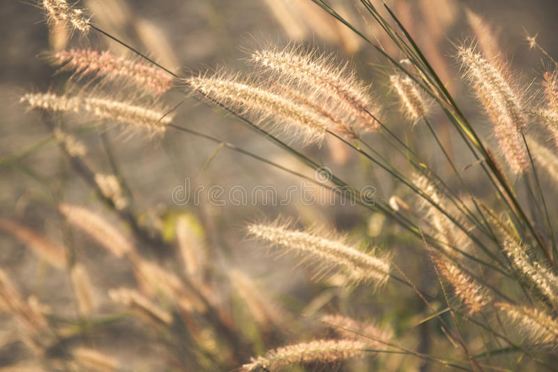 Άγριος τομέας της χλόης στο ηλιοβασίλεμα, μαλακές ακτίνες ήλιων, θερμός τονισμός, φακός στοκ εικόνα