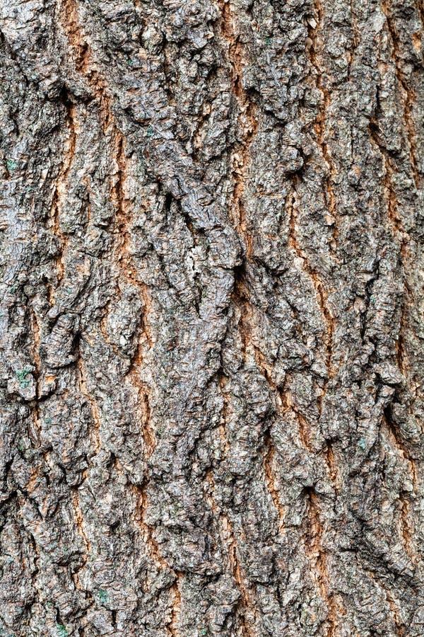 Άγριος φλοιός του παλιού πορτ-μπαγκάζ στο δέντρο τέφρας σφένδρου κοντά στοκ φωτογραφίες