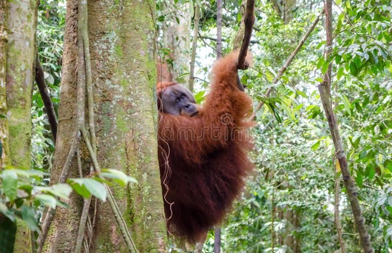 Άγριος orangutan Sumatran σε βόρειο Sumatra, Ινδονησία στοκ εικόνα