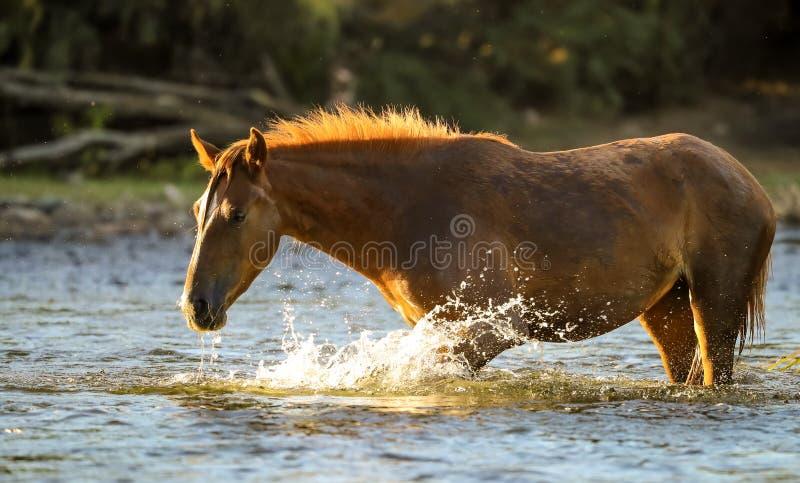 Άγριο άλογο μάστανγκ στον ποταμό στοκ εικόνα