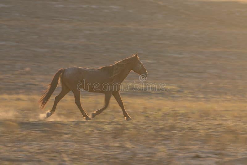 Άγριο άλογο που τρέχει στην έρημο στοκ εικόνα με δικαίωμα ελεύθερης χρήσης