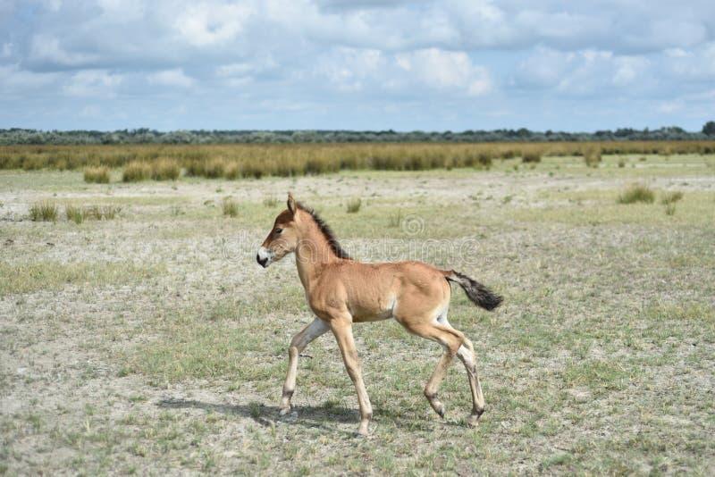 Άγριο άλογο στο δέλτα Δούναβη στοκ εικόνα