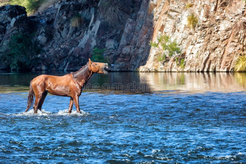 Άγριο άλογο Neighing ενώ στον ποταμό στοκ εικόνες