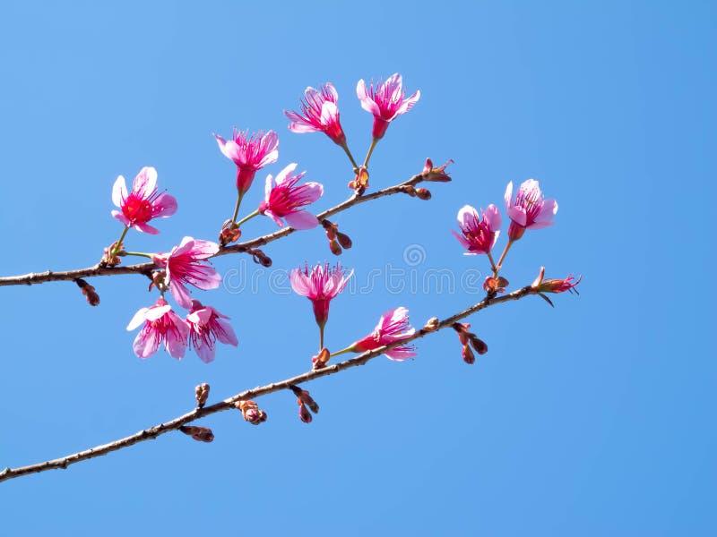 Άγριο άνθος κερασιών Himalayan στοκ εικόνα με δικαίωμα ελεύθερης χρήσης