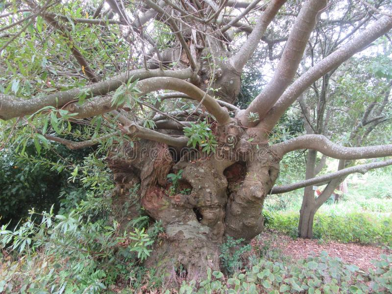 Άγριο αμύγδαλο χρονών δέντρων εκατό και σαράντα στοκ εικόνες