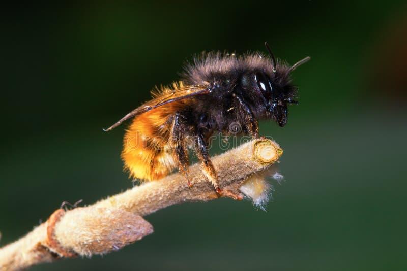 Άγριο απόμερο cornuta Osmia μελισσών στοκ εικόνες με δικαίωμα ελεύθερης χρήσης