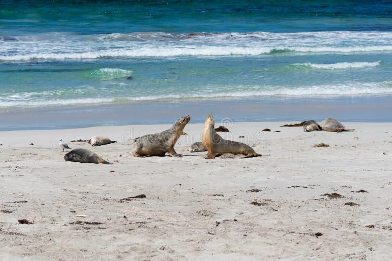 Άγριο αυστραλιανό λιοντάρια ή Neophoca θάλασσας φαιάς ουσίας στον κόλπο σφραγίδων στο νησί SA Αυστραλία καγκουρό στοκ εικόνα με δικαίωμα ελεύθερης χρήσης