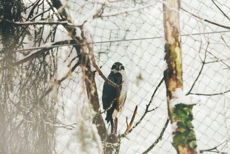 Άγριο γεράκι στο ζωολογικό κήπο της Φινλανδίας στο δέντρο στοκ εικόνες με δικαίωμα ελεύθερης χρήσης