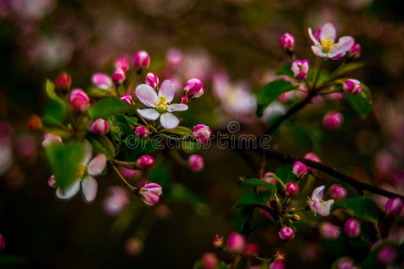 Άγριο δέντρο μηλιάς που ανθίζει την άνοιξη στοκ εικόνες
