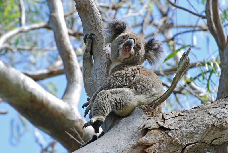 Άγριο, ελεύθερο Stradbroke νησί Koala Αυστραλία στοκ φωτογραφίες