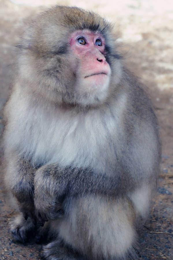 Άγριο ιαπωνικό Macaque - πίθηκοι χιονιού στοκ εικόνες με δικαίωμα ελεύθερης χρήσης