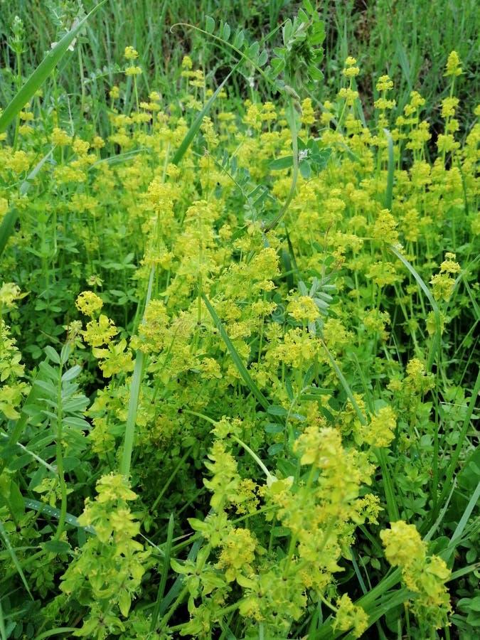 Άγριο κίτρινο λουλούδι στη φύση στοκ εικόνα με δικαίωμα ελεύθερης χρήσης