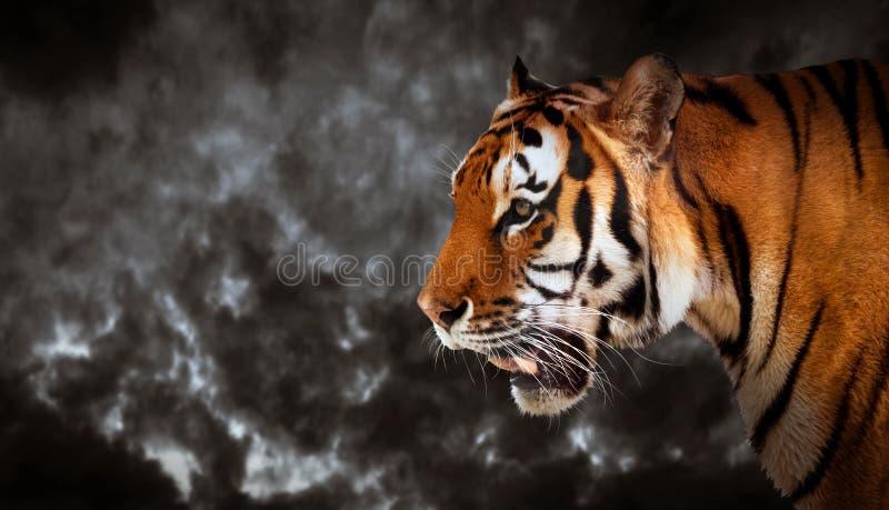 Άγριο κοίταγμα τιγρών, έτοιμο να κυνηγήσει, πλάγια όψη πανοραμικός στοκ εικόνες