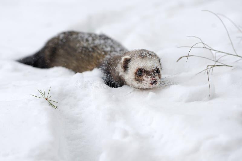 Άγριο κουνάβι στο χιόνι στοκ φωτογραφία με δικαίωμα ελεύθερης χρήσης