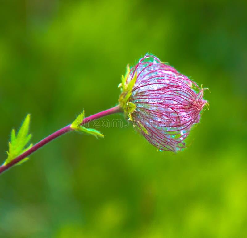 Άγριο λουλούδι βουνών που καλύπτεται με τη δροσιά στοκ εικόνες