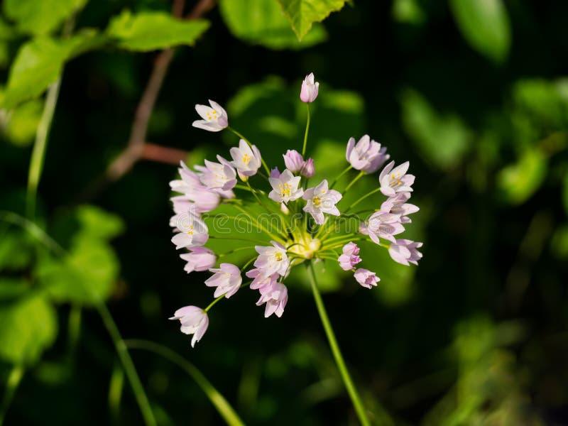 Άγριο λουλούδι σκόρδου στοκ εικόνα
