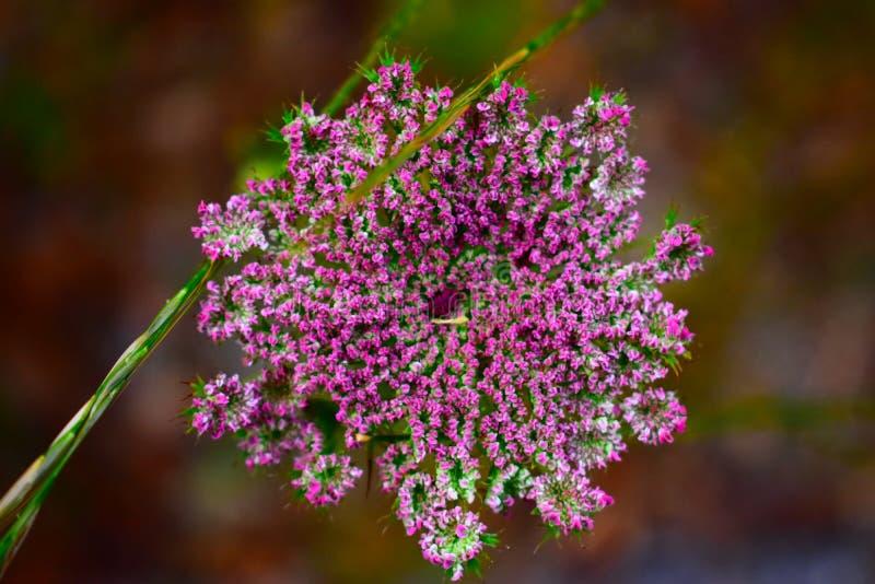 Άγριο λουλούδι colorfull που βλασταίνεται στη στενή απόσταση στοκ εικόνα με δικαίωμα ελεύθερης χρήσης