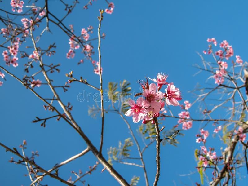 Άγριο λουλούδι κερασιών Himalayan, ταϊλανδικό άνθος Sakura στοκ φωτογραφία με δικαίωμα ελεύθερης χρήσης