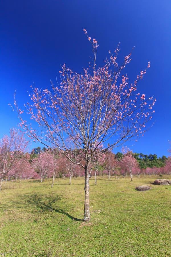 Άγριο λουλούδι κερασιών Himalayan (sakura ή Prunus της Ταϊλάνδης cerasoides) στο βουνό Phu Lom Lo, Loei, Ταϊλάνδη στοκ εικόνες με δικαίωμα ελεύθερης χρήσης