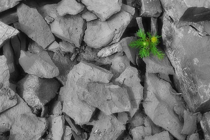 Άγριο λουλούδι μεταξύ των πετρών στοκ φωτογραφίες