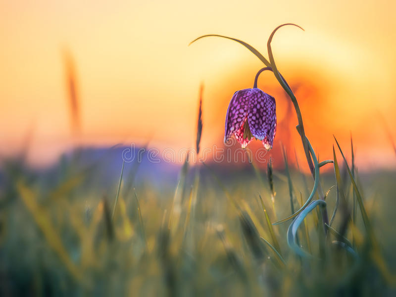 Άγριο λουλούδι σκακιού στοκ εικόνες