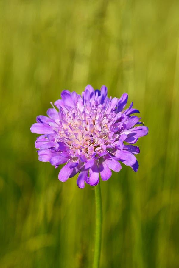 Άγριο λουλούδι στο θερινό λιβάδι στοκ φωτογραφία με δικαίωμα ελεύθερης χρήσης